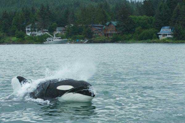 orca en Juneau, Alaska