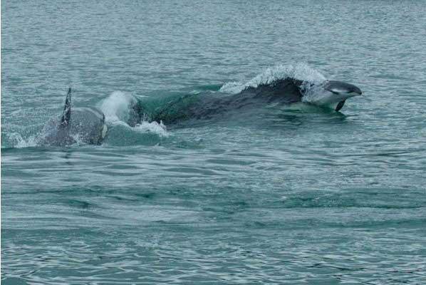 orcas cazan una marsopa