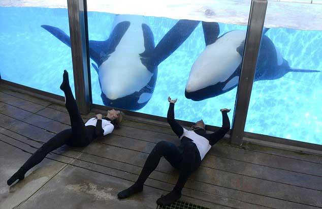 las orcas Tilikum y Trua en SeaWorld Orlando