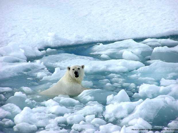 oso polar nada entre el hielo