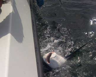 pesca de tiburón zorro en Cornualles