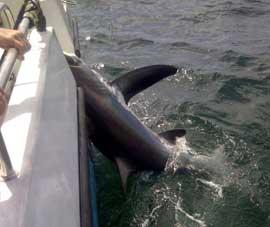 pesca de enorme tiburón zorro en Cornualles