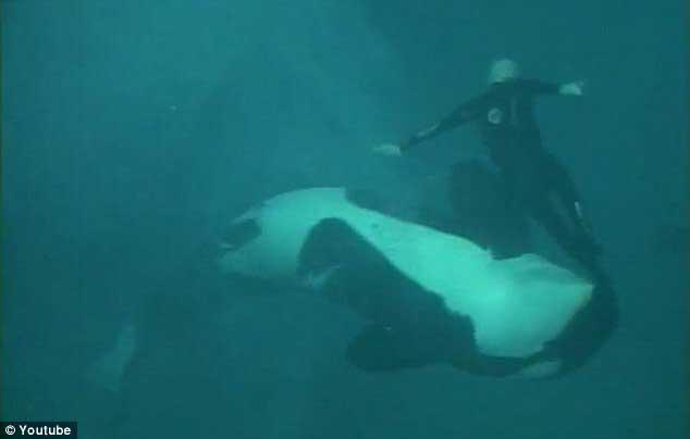 Ken Peters arrastrado por la orca Kasatka