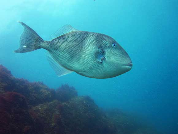 pez ballesta gris
