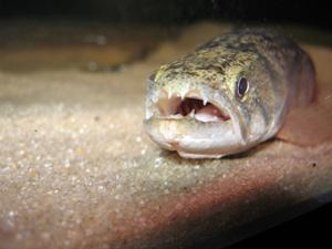 pez lobo (Hopilas malabaricus)