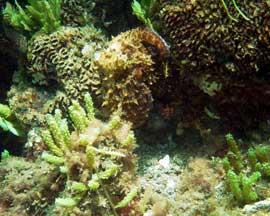 pulpo en un arrecife de coral