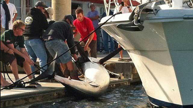 sacan del agua un enorme tiburón mako en California
