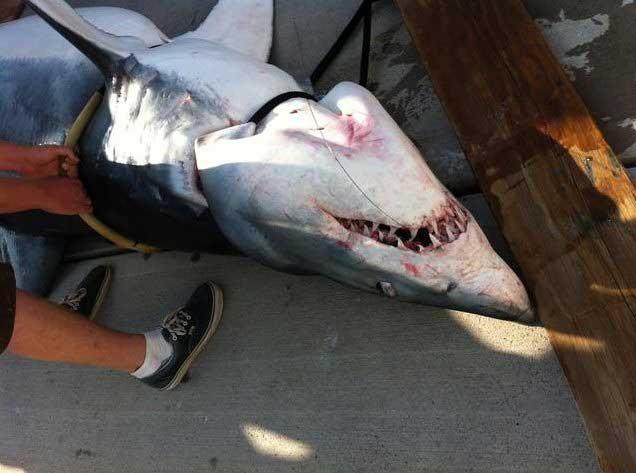 tiburón mako capturado en California