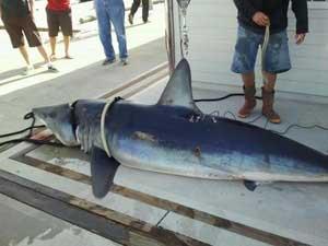 tiburón mako o marrajo capturado en Marina del Rey