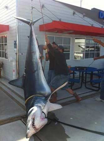 tiburón mako de 400 kilos en California