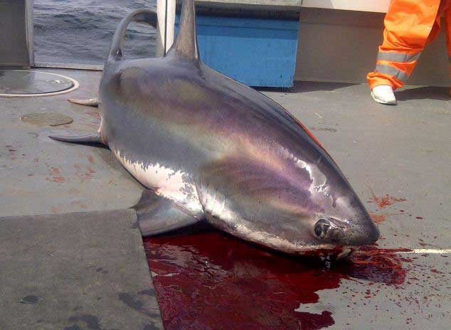 tiburón zorro pescado en Cornualles