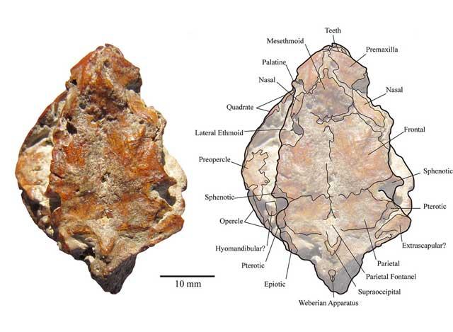 Arrhinolemur scalabrinii