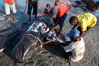 ballena arponeada por lugareños en Indonesia