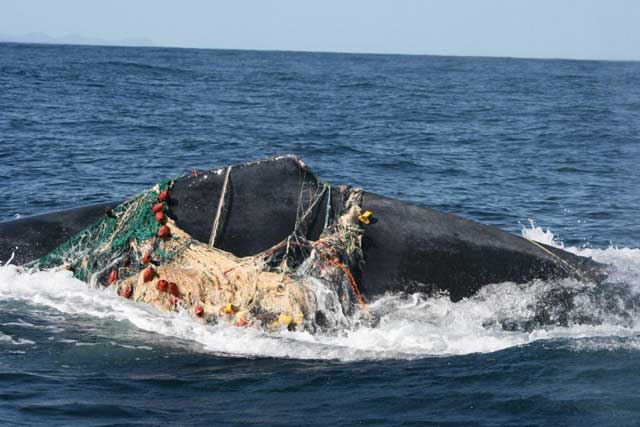ballena enredada en una red de pesca