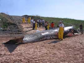 ballena muerta por la colisión con barco en una playa