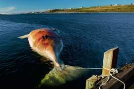 ballena muerta por la colisión con barco