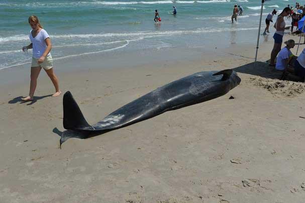 ballena piloto varada en Florida