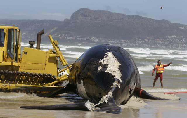 ballena varada en Sudáfrica mordida por tiburones