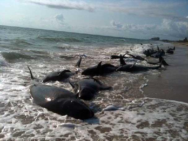 ballenas piloto varadas en Florida