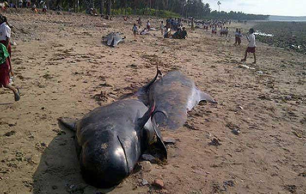 ballenas piloto varadas en Indonesia