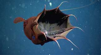Calamar vampiro del infierno paraguas