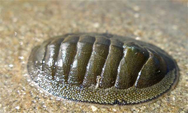 molusco del género quitón