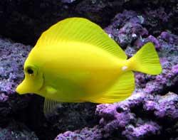 pez cirujano amarillo (Zebrasoma flavescens)