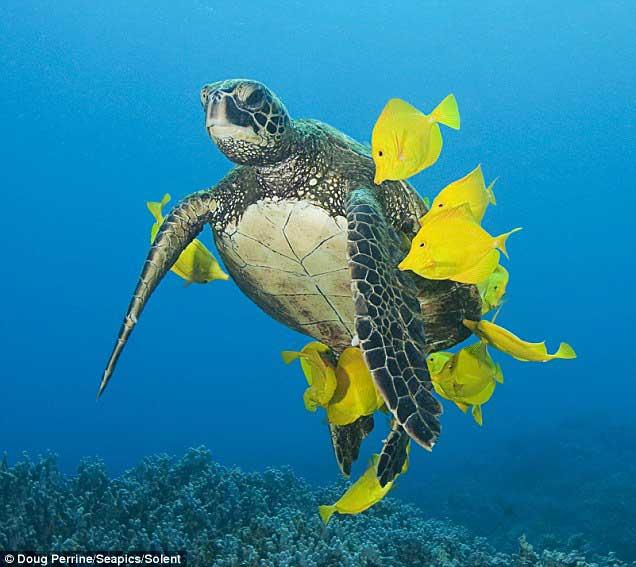 peces cirujanos amarillo limpían el caparazón a una tortuga