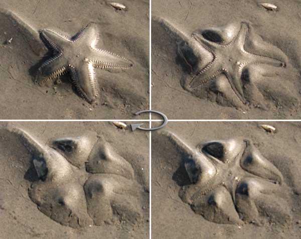 camuflaje de una estrella de mar