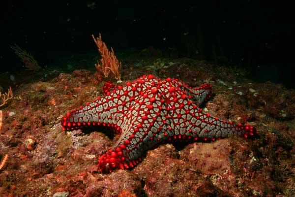 estrella de mar de crestas rojas