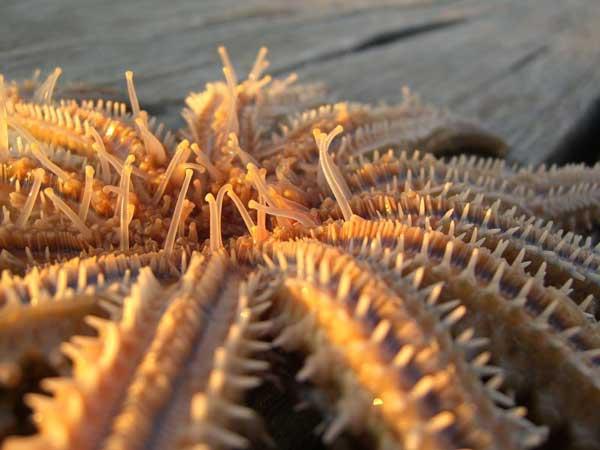 estrella de mar espinas