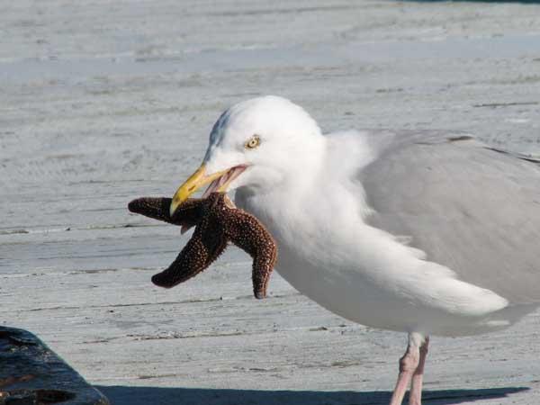 estrella de mar cogida por una gaviota