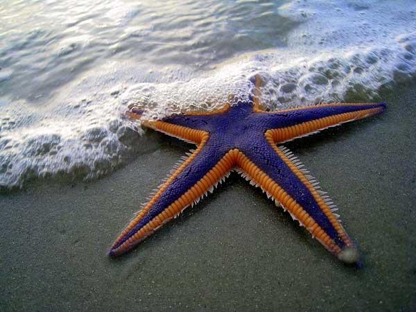 estrella de mar púrpura y naranja