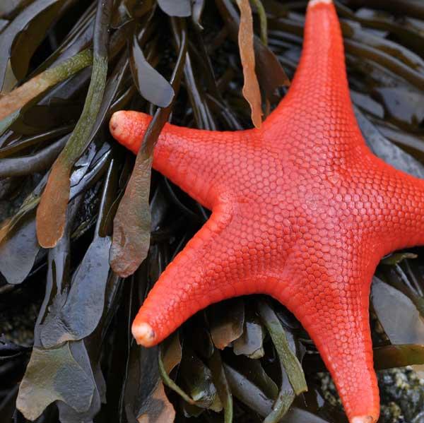 estrella de mar roja entre algas