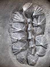 fósil de multiplacophora