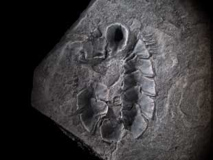 fósil de Protobalanus spinicoronatus