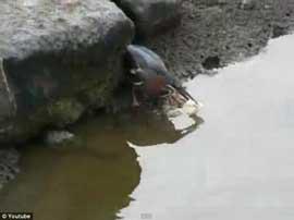 garza verde usa pan como cebo para pescar