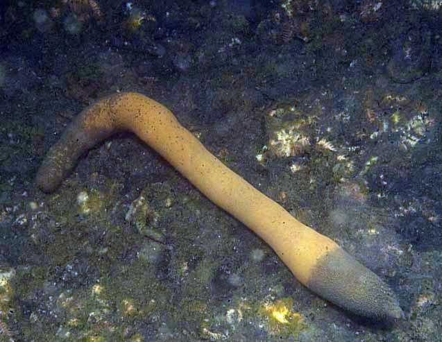 gusano marino priapúlido