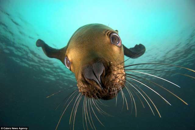 león marino mira su propio reflejo