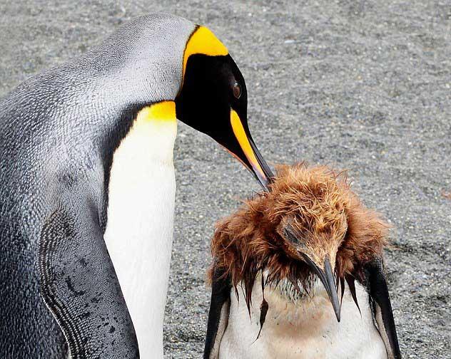 mamá pingüino cuida las plumas de su pollito