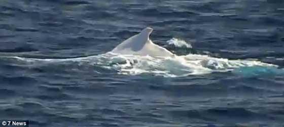 Migaloo, la ballena blanca en Australia