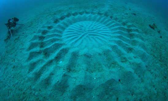 misterioso círculo en el fondo marino hecho por un pez globo