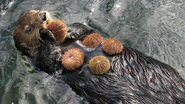 nutria marina comiendo erizos de mar
