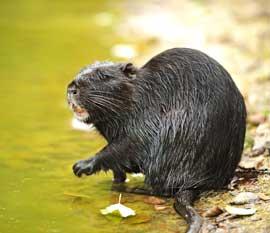 nutria o rata de pantano (Myocastor coypus)