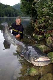 pez gato gigante atrapado en el río Neckar, Alemania
