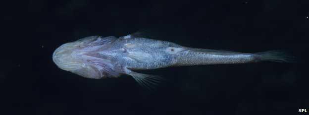 pez gobio cavernícola de Madagascar