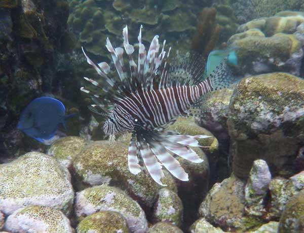 pez león en arrecife