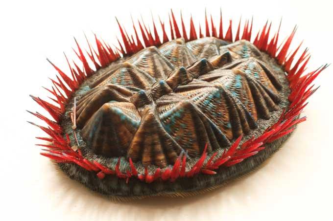 Protobalanus spinicoronatus