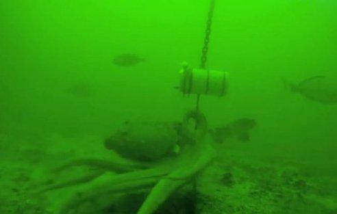 pulpo desata nudos para robar un cebo submarino