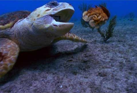 tortuga boba come a langosta zapatilla